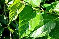 Mulberry leaf.jpg