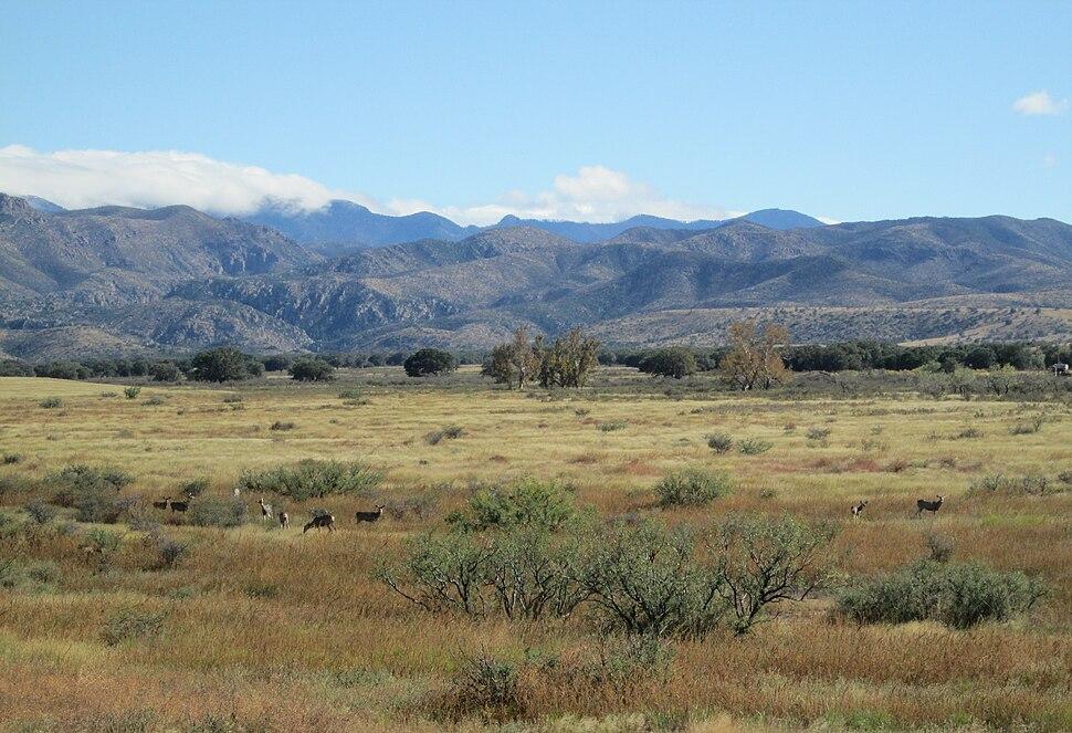 Mule Deer Sulphur Springs Valley Arizona 2014