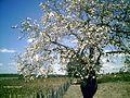 Mulungu em flor.jpg