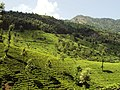 Munnar Tea Plantations - panoramio (4).jpg