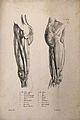 Muscles and bones of the upper leg and pelvis; two figures. Wellcome V0008190.jpg