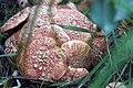 Mushroom cluster (15274616009).jpg