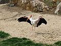 Mycteria ibis, ZOO Praha 085.jpg