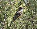 Myiarchus cinerascens -Tuscon, Arizona, USA-8 (1).jpg