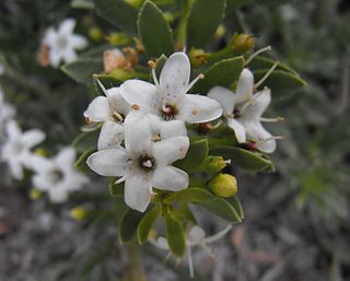 <i>Myoporum parvifolium</i> Species of plant