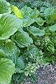 Myosotidium hortensia kz01.jpg