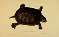 N222 Sowerby & Lear 1872 (pelomedusa subrufa).jpg