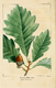 NAS-007 Quercus bicolor.png