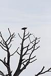 NASA Kennedy Wildlife - Bald Eagle (2) surveys its surroundings.jpg