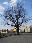 ND0104-2 Hosena Quercus Robur.jpg