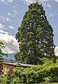 ND 101 26 Mammutbaum in Mühlau Mühlau-Innsbruck 20140508 GOG 9144.jpg