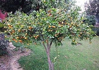 Tangerine - Narangi tree in Mohali