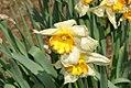 Narcissus Cordell Hull 0zz.jpg