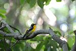 Narcissus Flycatcher2.jpg