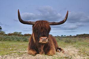 Zuid-Kennemerland National Park - Highland cattle in the park
