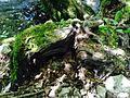 Natur beseelt, Wurzelformation am Ufer der Schmeie im Schmeietal.jpg