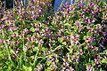 Naturschutzgebiet Am roten Steine - Violette Taubnessel (2).JPG