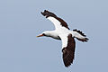 Nazca booby - Wikipedia - photo#36