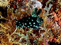 Nembrotha cristata (Nudibranch) on algae.jpg