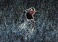 Neon Pheasant (23131142031).jpg