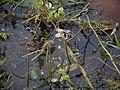 Neptunia oleracea Lour. (6257275827).jpg