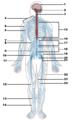Nervous system diagram (numbered).png