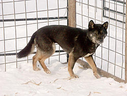 New Guinea Singing Dog with rare black-and-tan coloration.jpg