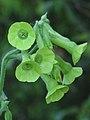 Nicotiana langsdorfii 12 (Scott Zona).jpg