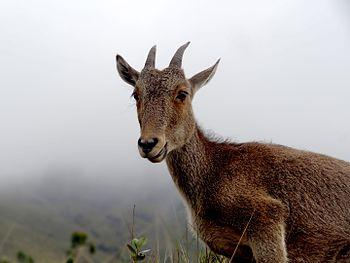 Nilgiri Tahr Mountain Goat.jpg