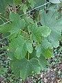 Noordwijk - Gewone esdoorn (Acer pseudoplatanus) v2.jpg