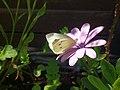 Noordwijk - Klein koolwitje (Pieris rapae) on pink flower.jpg