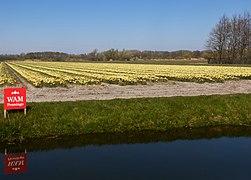 Noordwijkerhout, veld met tulpen aan de Oosterduinen IMG 9008 2021-04-27 13.14.jpg