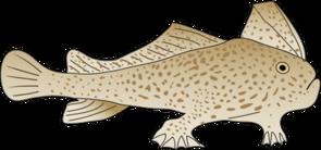 Brachionichthys hirsutus