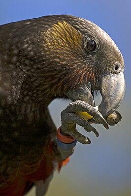 Norfolk Island Vs Lord Howe