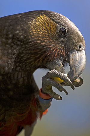 New Zealand kaka - The New Zealand kaka, like many parrots, uses its feet to hold its food