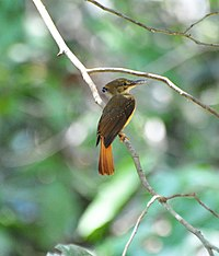 Northern Royal Flycatcher (6901657644).jpg