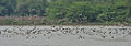 Northern Shovelers (Anas clypeata) mainly at Sultanpur I Picture 235.jpg