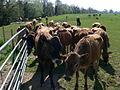 Nosy Jersey cattle - geograph.org.uk - 1260028.jpg