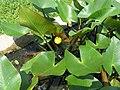 Nuphar japonica1.jpg
