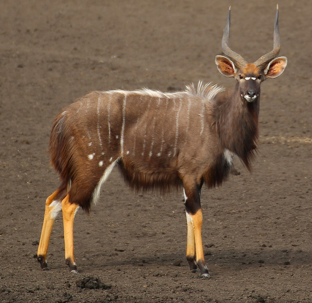The average litter size of a Nyala is 1