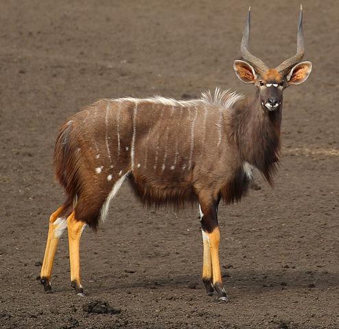 File:Nyala maleWikimedia Commons