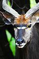 Nyala bull 5.jpg