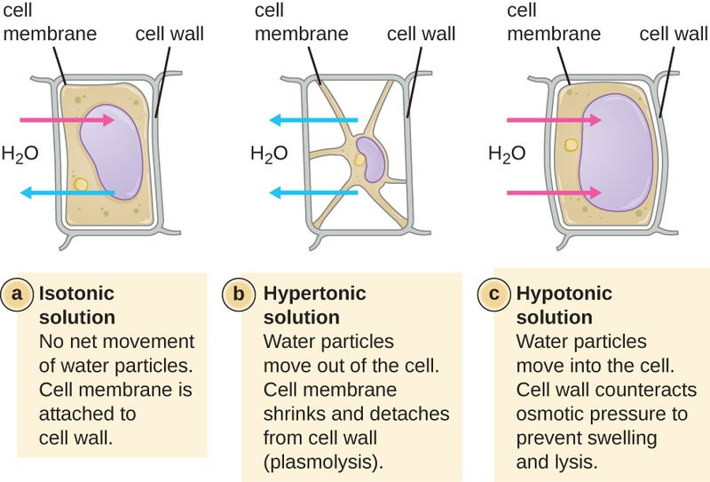 osmosis: cell wall and salt water solution essay The volume of the sodium chloride solution biology essay  the cell wall resists any further intake of water,  cell since osmosis is the diffusion of water.