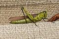 Obscure Bird Grasshopper (Schistocerca obscura) Virginia 5.jpg