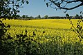 Oil-seed Rape in bloom near Claverley - geograph.org.uk - 687220.jpg