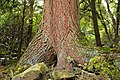 Old-Growth Timber (6) (8630694550).jpg