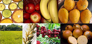 Columbian Exchange - Old World native plants. Clockwise, from top left: 1. Citrus (Rutaceae); 2. Apple (Malus domestica); 3. Banana (Musa); 4. Mango (Mangifera); 5. Onion (Allium); 6. Coffee (Coffea); 7. Wheat (Triticum spp.); 8. Rice (Oryza sativa)