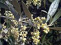 Olea europaea FlowersCloseup SolanadelPino.jpg