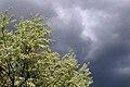 Olive tree (2576064895).jpg