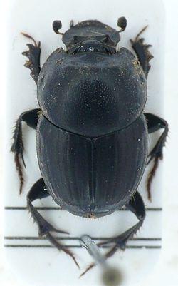 Onthophagus taurus.JPG